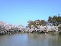 臥龍公園の桜